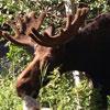 Park-City-Moose